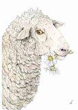 Wenskaart - Saisy sheep_